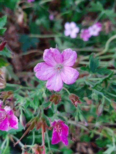 Bigroot-geranium
