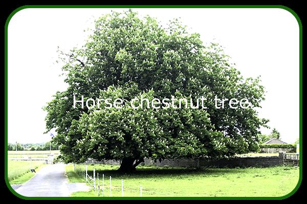 Horsechestnut tree
