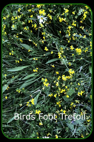 Birds foot trefoil