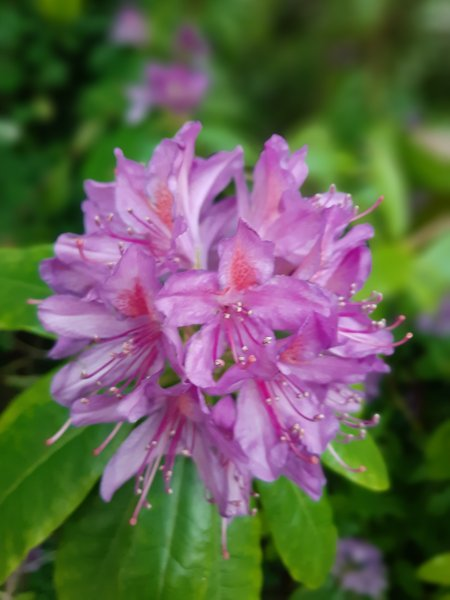 Pontic-rhododendron