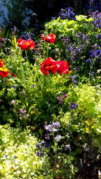 Poppies-and-Monkshood