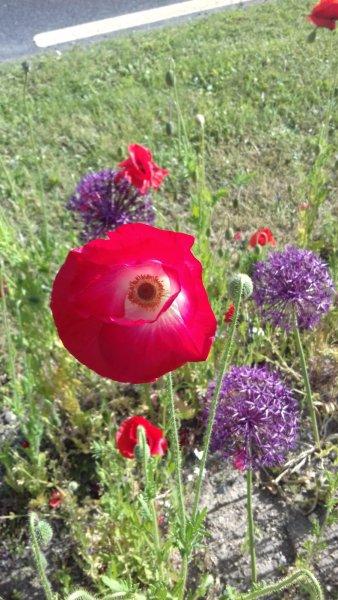Poppy-and-Alium