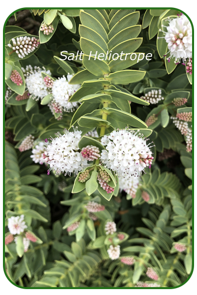 Salt-heliotrope