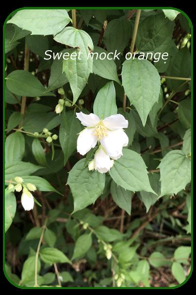 Sweet-mock-orange