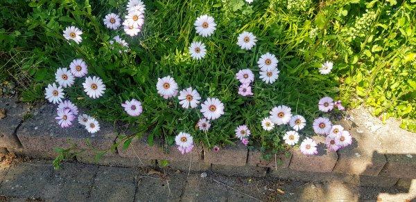 Weather-prophet-African-daisy