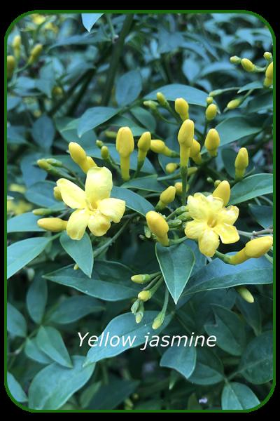 Yellow-jasmine