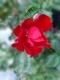 Bengal-rose