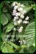 Horsechestnut flower