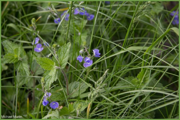 Germander speedwell.jpg