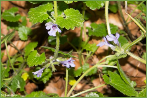 Ground Ivy.jpg