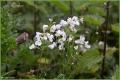 Cuckoo flower.jpg