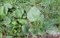 Broadleaved Plantain.jpg