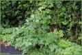 Cow parsley.jpg