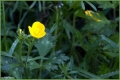 Creeping Buttercup.jpg