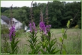 Rosebay Willow Herb.jpg
