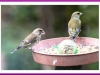 Greenfinch female