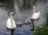 Swans at Milford Bridge