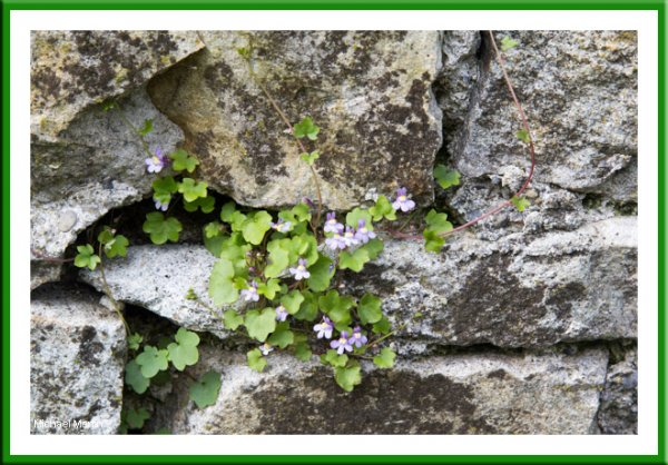 Ivy leafed toad flax