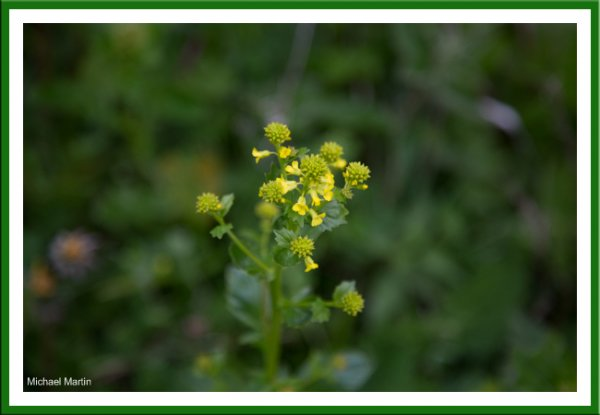 Winter-cress