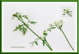 Fools parsley