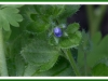 Ivy leaved speedwell.jpg