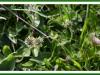 Ribwort plantain.jpg