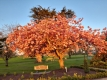 Cherry-blossom-at-Ballykealy-in-the-evening-sun-by-Bernie-Mullins