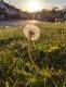 always-turn-towards-the-light_dandelion_michelle-murray-002