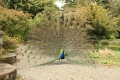 Peacock at Altamont Gardens