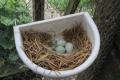 Canary eggs
