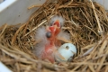 Canary chicks