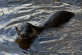Otter in the Barrack Stream.