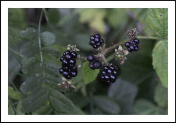 First of the blackberries