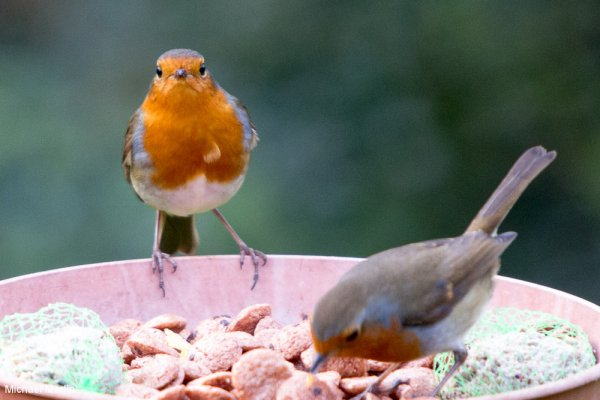 Robins not solitary