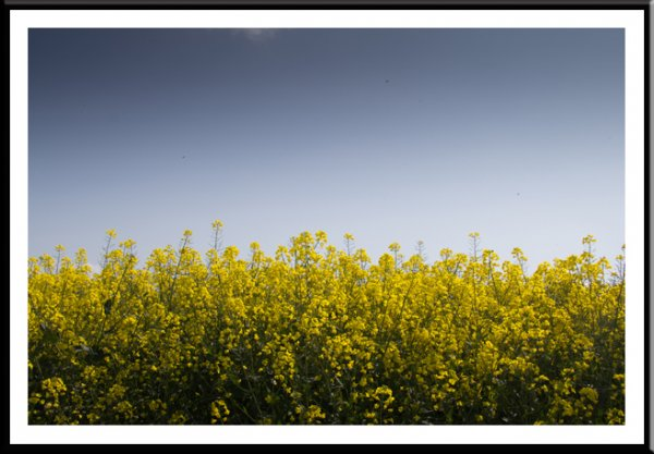 Canola-rape oilseed