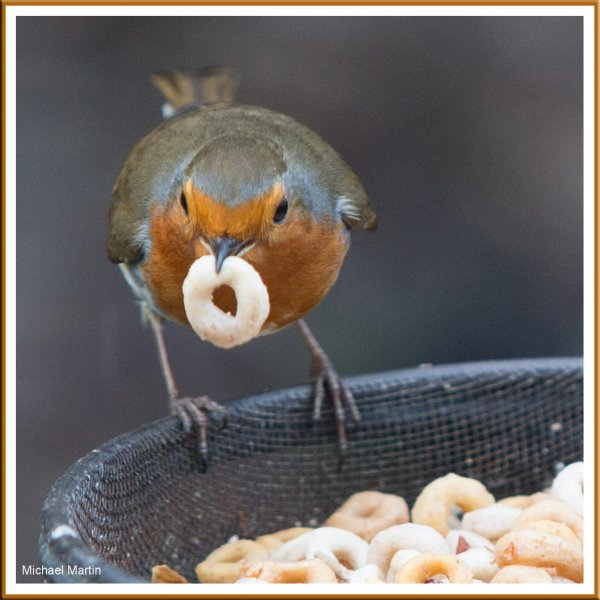 Another well fed Robin