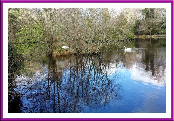 Swans building their nest