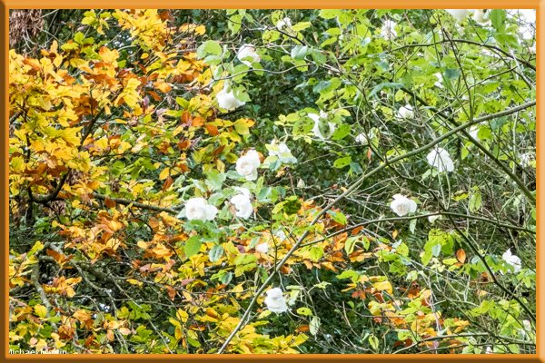 Madame de Carriere and beech leaves