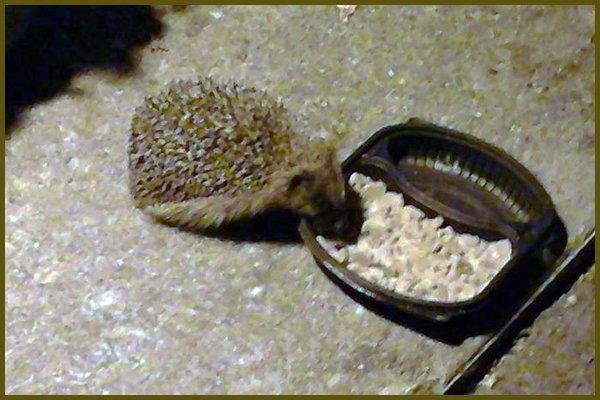Local Hedgehog