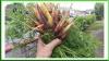 Carrot thinings