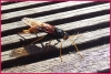 Giant wood wasp