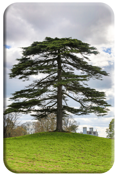 Magnificent Fir
