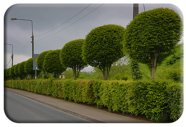 Hornbeam and Beech hedge copy