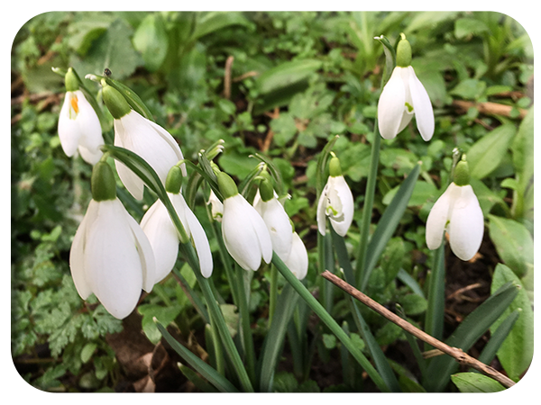 First of the snowdrops