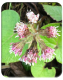 Winter flowering heliotrope