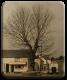 Original Bull Tree