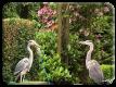 Pair of herons