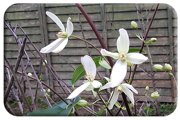 Clematis Winter Beauty