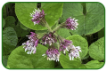 Winter Heliotrope