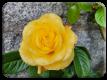 First rose of summer